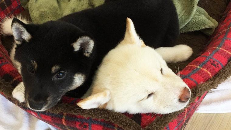 柴犬 黒柴 の名前 犬の名前の付け方 柴犬と車椅子ユーザーと 黒パンびより