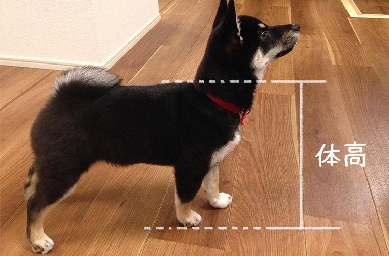 犬の体高 柴犬の体の大きさ