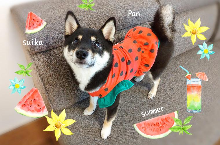 ダイソーや百円均一の服を柴犬に着せた