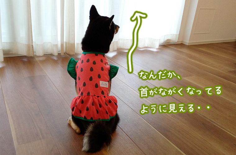 柴犬とスイカの洋服 犬のファッション 夏