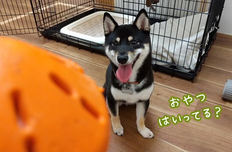 柴犬と一緒に遊ぶ