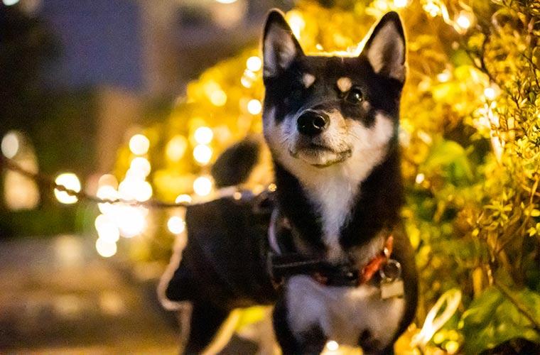 腹巻きをして散歩する黒い柴犬