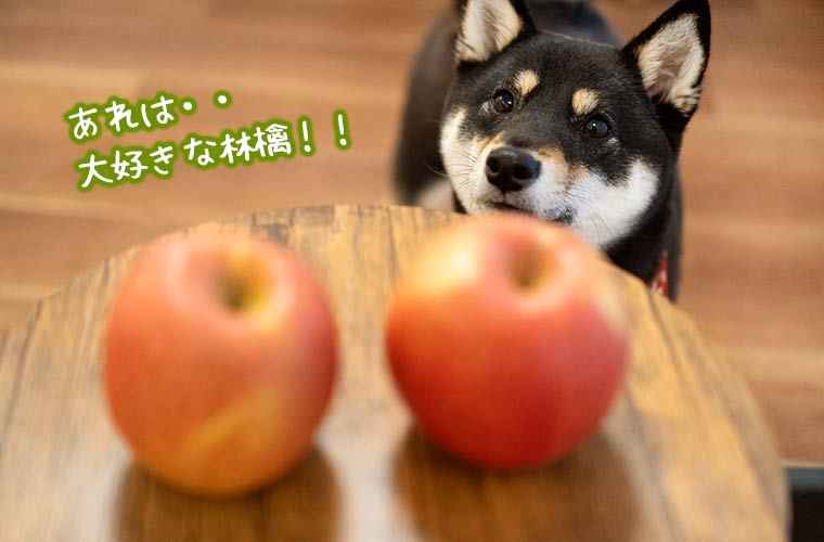 林檎を食べたい黒柴 柴犬