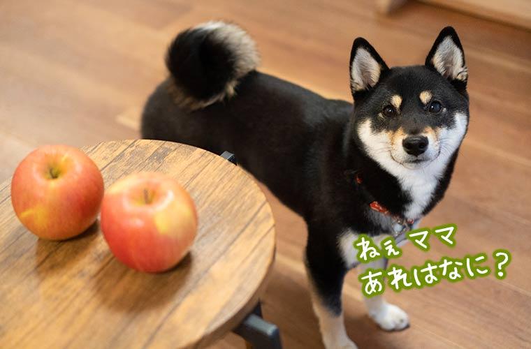 林檎を見つけた柴犬