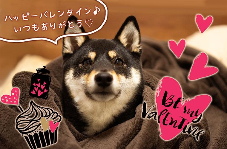 バレンタインの柴犬 柴犬の写真