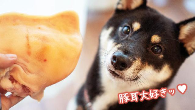 豚耳が大好きな柴犬