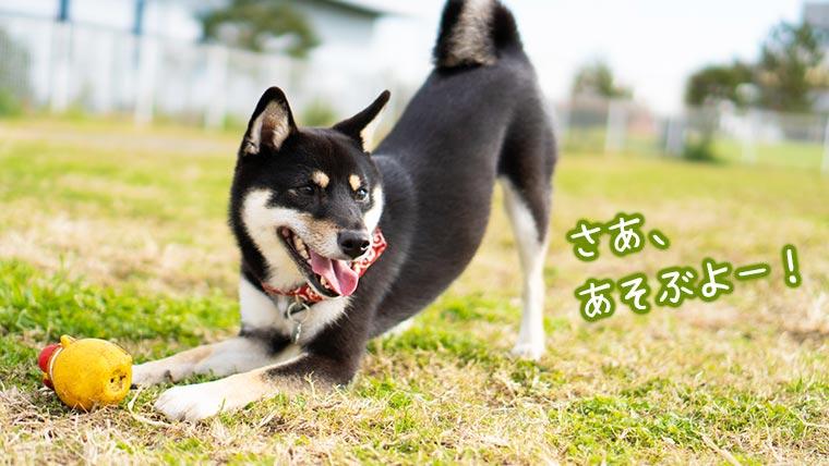 柴犬とドッグラン ドッグランで遊ぶ犬