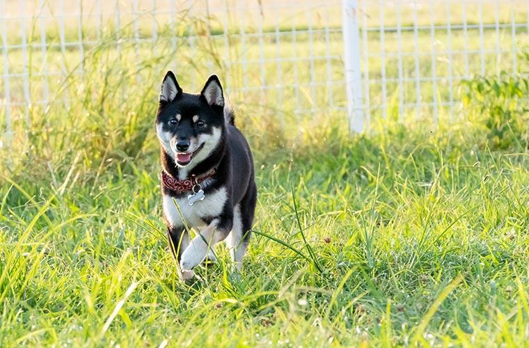 犬とドッグラン ドッグランで走る柴犬