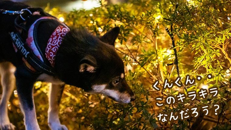 イルミネーションと柴犬 犬の散歩とクリスマス