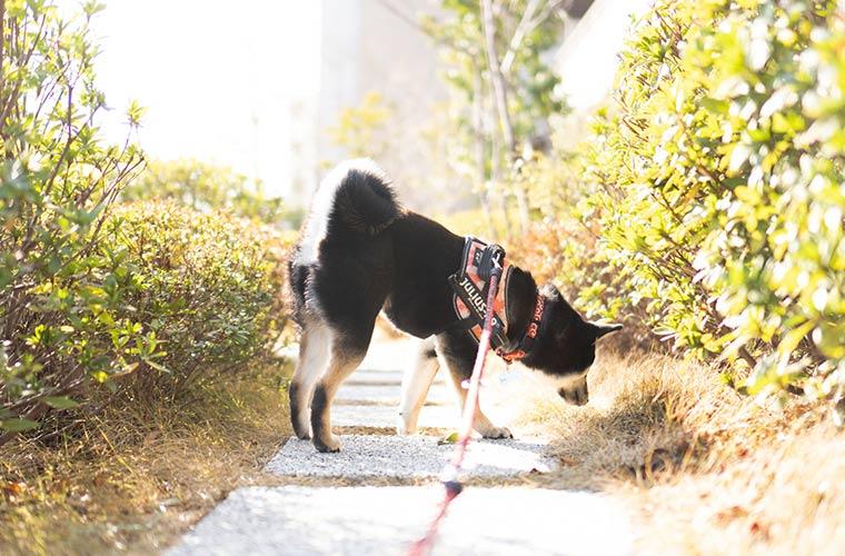 柴犬のお気に入りの道