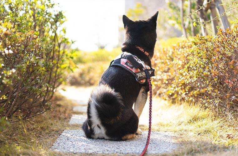 豆柴 黒柴 背中 柴犬 shibadog