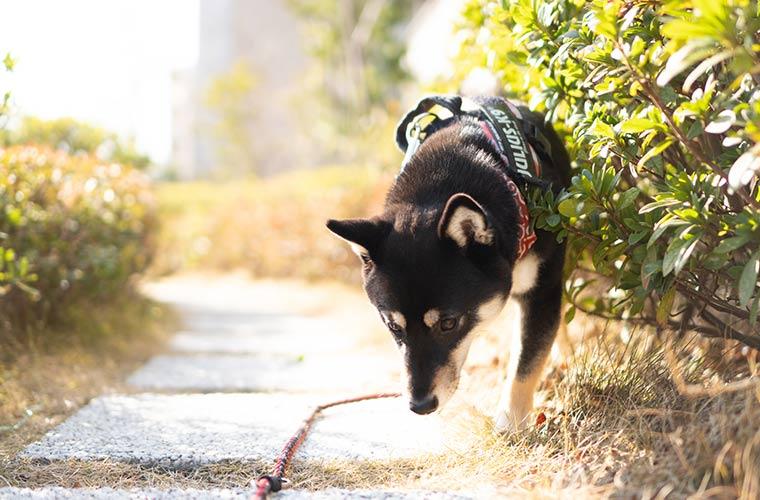 道のにおいを嗅ぐ犬 柴犬