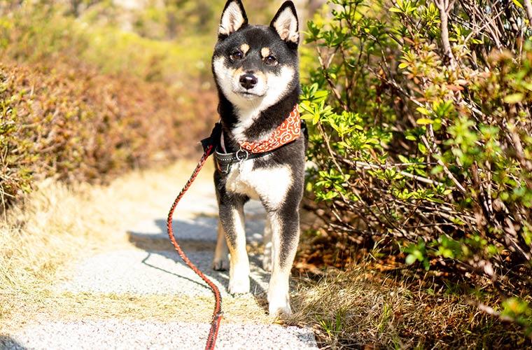 豆柴 日本犬 和犬