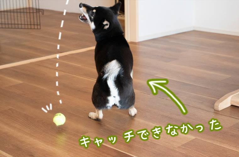 家の中で柴犬と遊ぶ キャッチボール