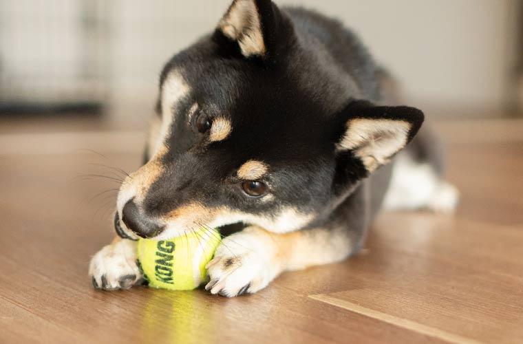 ボールを噛む柴犬の写真