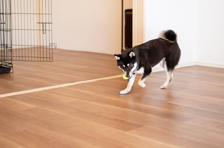 犬とボールで遊ぶ 室内