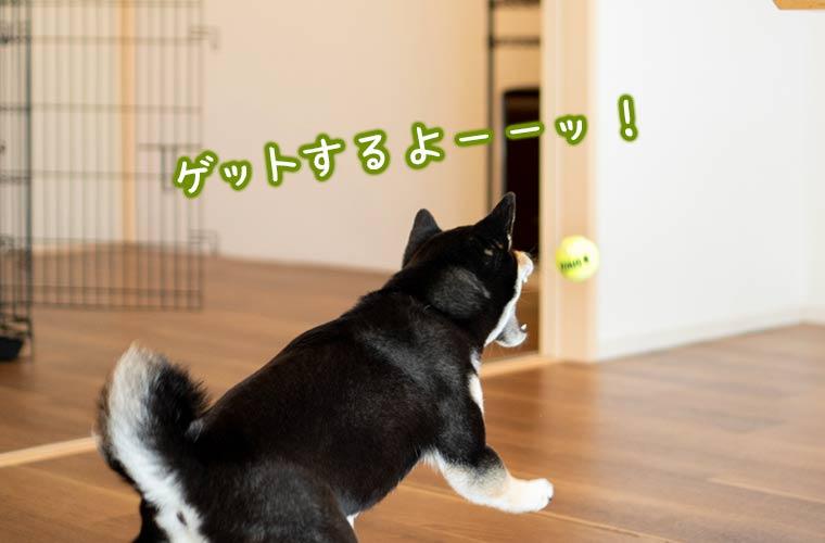 ボールを追いかける犬