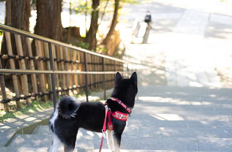階段の下の飼い主を見る犬