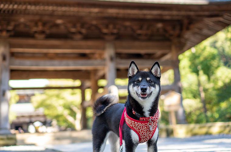 柴犬とお寺