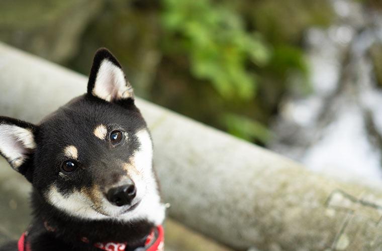北鎌倉の円覚寺の近く 黒い柴犬