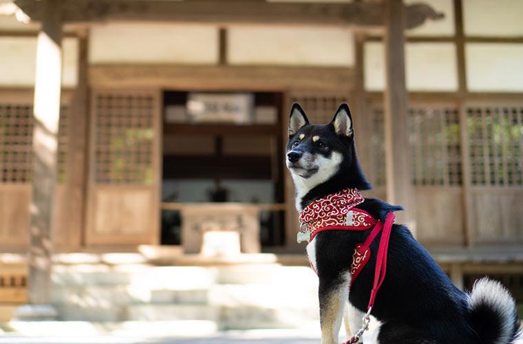 円覚寺と柴犬 日本の和犬
