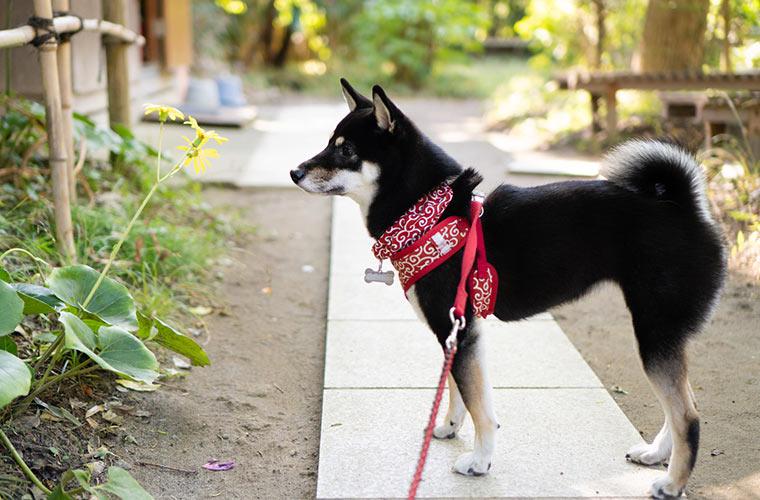 お寺に咲く花と柴犬
