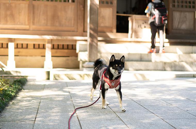 お寺のお賽銭箱の前にいる犬 黒柴