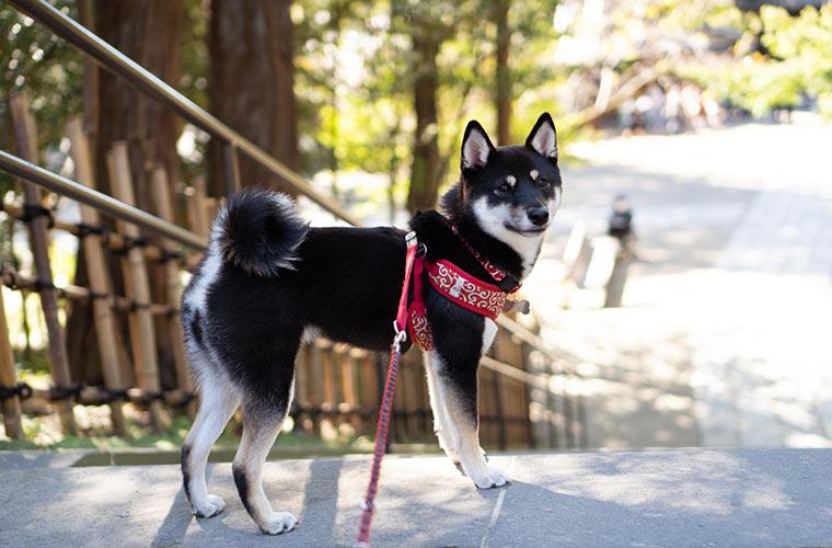 北鎌倉の円覚寺で柴犬を撮影
