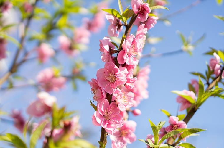 3月の桃の花