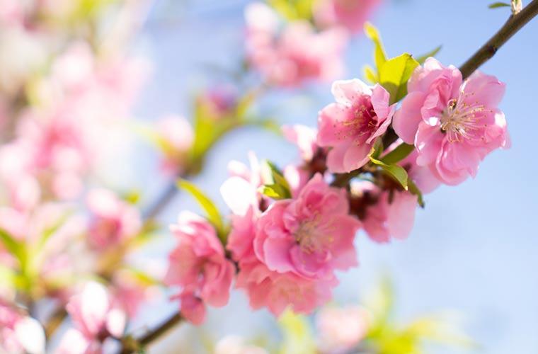 青空と桃の花 桃の花の写真