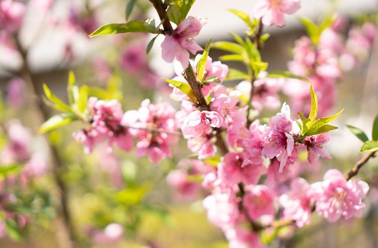 桃の花を撮影