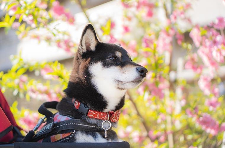 桃の花を眺める黒柴の写真