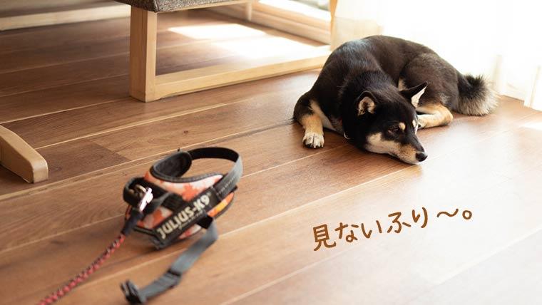 散歩を嫌がる柴犬