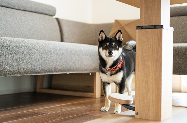 机の下にいる黒柴の犬