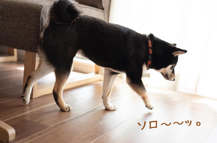 散歩が嫌いな犬 柴犬