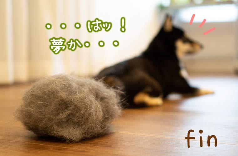 黒い柴犬と毛玉