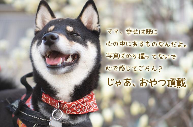 黒柴 木蓮 3月 柴犬