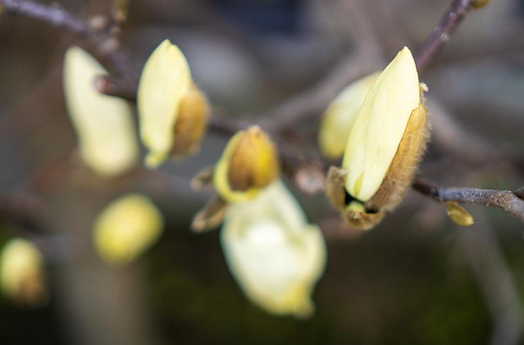 木蓮の花と蕾の写真