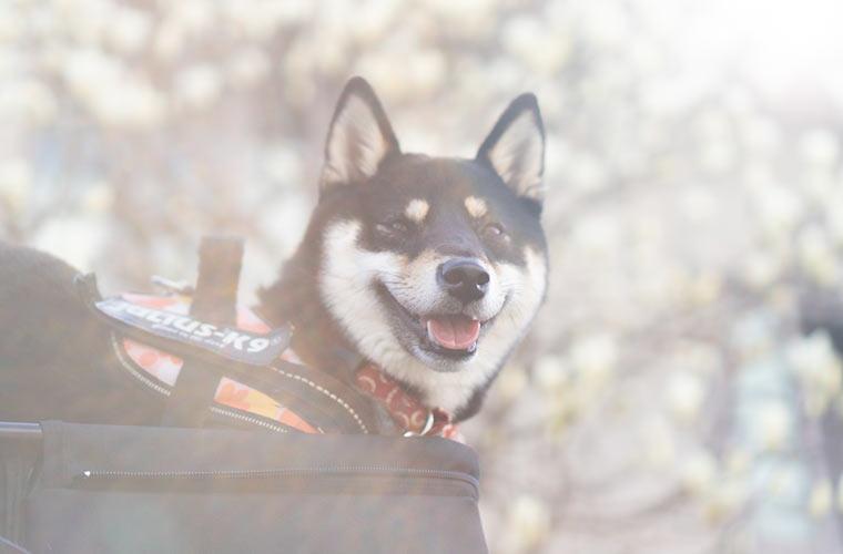 笑う柴犬と木蓮の花