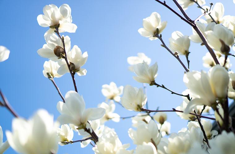 モクレンが咲いている 3月