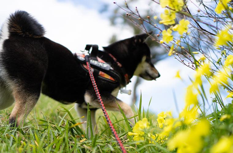 茂みを気にする柴犬
