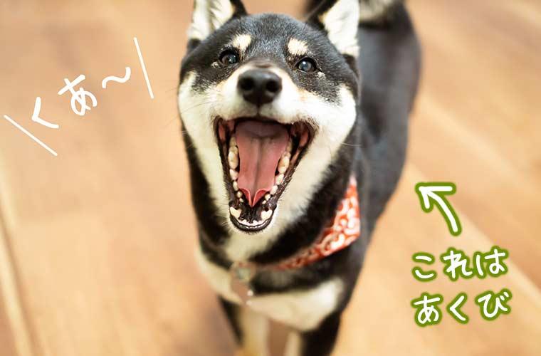 あくびをする柴犬