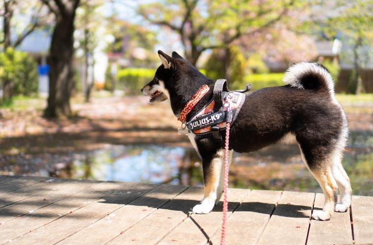 景色を眺める柴犬 和犬