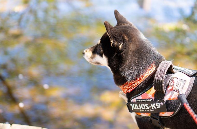 水溜まりを眺める柴犬