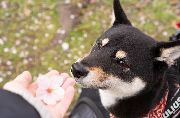 黒柴と桜を見に散歩