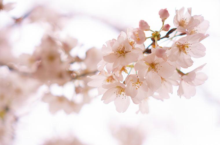 桜の写真 春