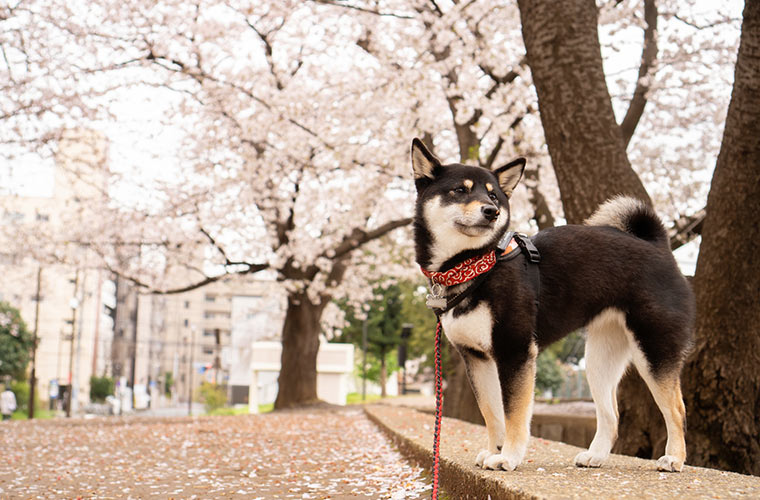 黒柴と満開の桜の木