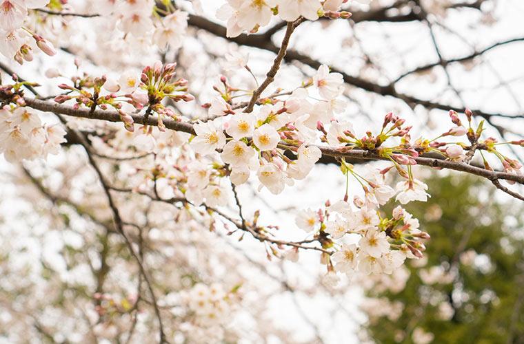 綺麗な桜の花 満開の桜