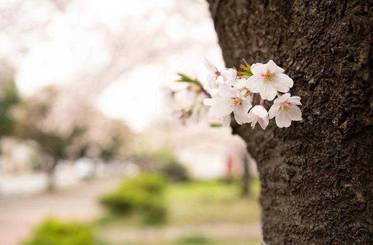 公園の桜の花を撮影