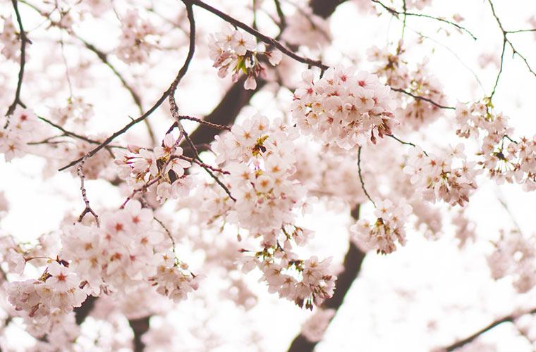 ピンク色のきれいな桜を撮影